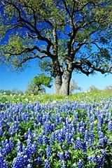 Bluebonnets Oak Tree Texas Blue Blue Sky Abundance Spring Flowers (gbhartphoto1) Tags: blue texas bluesky oaktree abundance springflowers bluebonnets