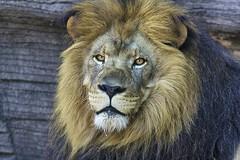scar face (ucumari photography) Tags: ucumariphotography riverbankszoo columbia sc south carolina lion male mane animal mammal june 2016 dsc5200