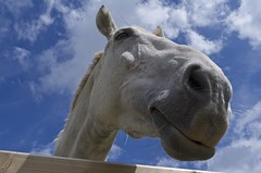 Why the long face? (Stephen Toye) Tags: norfolk themagpiecentre rda equine equinephotography horsehead horse whitehorse greyhorse nose gate head profile nostrils eye ears whiskers curious animal nature leica mane sky bluesky