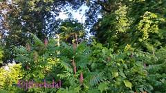 Sumac Tree berries (jenniferfivelsdal) Tags: trees berries sumac