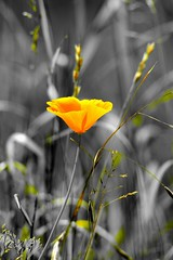 DSC_6179 (Bruno ArtPhoto) Tags: nature flower fleurs flowers flickr tamron nikon orange poppies coquelicot pavot desaturation bruno