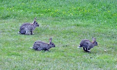 Rabbit Mum and Two baby's  (30)  Our Lawn mowers at the Camp site we stay on for the summer (John Carson Essex) Tags: thegalaxy supersix rainbowofnature thegalaxystars