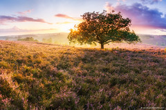 Posbank fairy tale (Sander Grefte) Tags: light sun tree sunrise landscape licht purple heather boom hills heath zon posbank heide landschap paars heuvels zonsopkomst