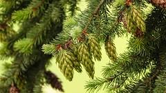 vert (Yasmine Hens) Tags: macro green nature europa flickr pin belgium ngc vert sapin namur hens yasmine wallonie iamflickr flickrunitedaward hensyasmine