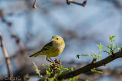 Canario de Manglar, Yellow Warbler (Setophaga petechia) (Gogolac) Tags: nikon yellowwarbler bani nikonian parulidae salinasdepuertohermoso canariodemanglar nikonias nikonrd nikond7100 setophagapetechia