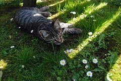 Fender IV (timing.) Tags: home cat summer hot shadow shadowplay flower grass green pet animal fur grey love sweet cute kitten kitty