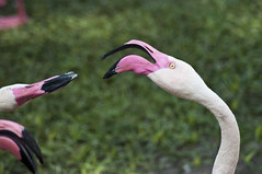Greater Flamingo (Phoenicopterus roseus) (fisherbray) Tags: usa bird hotel orlando nikon unitedstates florida flamingo disney resort disneyworld savannah orangecounty wdw waltdisneyworld greaterflamingo phoenicopterusroseus vogel animalkingdomlodge baylake d5000 jambohouse fisherbray uzimasavannah