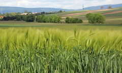 Gerste. (universaldilletant) Tags: frankfurt landwirtschaft feld anbau gerste