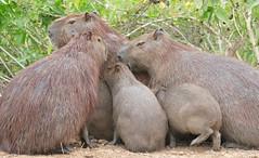 Capybaras (Hydrochoerus hydrochaeris) family cuddling to get warm ... (berniedup) Tags: pantanal capybara hydrochoerushydrochaeris pocon transpantaneira taxonomy:binomial=hydrochoerushydrochaeris
