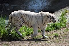 White Bengal Tiger (WilliamND4) Tags: animal cat zoo nikon stripes tiger d750 bengal whitetiger
