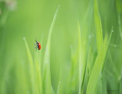 Lonely at the top.... - in Explore - (crispin52) Tags: macro green nature grass nikon beetle