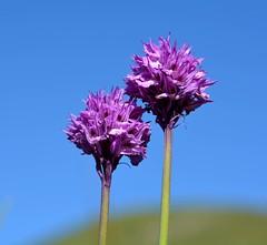 Orchidea screziata (giorgiorodano46) Tags: sky italy mountain orchid june cielo wildflower montagna umbria appennino orchide norcia orqudea orchis orchidea castelluccio 2016 apennines sibillini giorgiorodano giugno2016