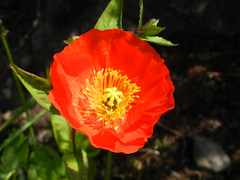 Poppy, Inverness, June 2016 (allanmaciver) Tags: poppy inverness red colour bright cherry delight enjoy admire allanmaciver garden