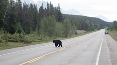 Don't Get Too Close... (the underlord) Tags: wild canada dangerous blackbear omnivore bearcrossing