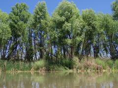 Goodding Willows (EllenJo) Tags: pentax cottonwoodarizona 2016 june19 jailtrail 86326 ellenjo ellenjoroberts pentaxqs1
