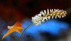 Itea virginica 'HansHoltiana' (HansHolt) Tags: blue white flower macro canon petals blauw 300d bokeh buds wit canoneos300d bloem knoppen bloemblaadjes canonef100mmf28macrousm itea iteavirginica hansholtiana