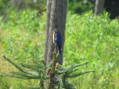 IMG_9184 (cheasepeake) Tags: bluebird songbird birdshare