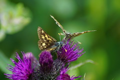 Not one, but two! (nancy II) Tags: nature june butterfly insect scotland wildlife rare invertebrate uncommon 2016 oakwoods hesperiidae checkeredskipper sunart carterocephaluspalaemon aryundle