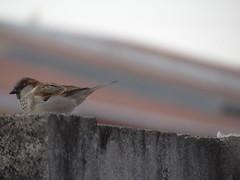 DSC04715 Pardal (familiapratta) Tags: bird nature birds brasil iso100 sony natureza pssaro aves pssaros novaodessa novaodessasp hx100v dschx100v