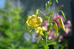 (myu-myu) Tags: plant flower japan nikon lily mygarden lilium  d800   liliumlancifoliumvarflaviflorum