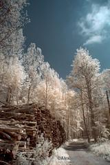 Bienne_DSC7900 (achrntatrps) Tags: trees light luz forest ir licht nikon arboles photographer suisse lumire arbres bern wald berne fort biel photographe baume bienne forst hoyar72 lachauxdefonds 720nm infrarouges d5300 dellolivo alexandredellolivo