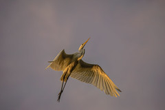 Heron Nation 06.23.2016.06 (nwalthall) Tags: herons egrets