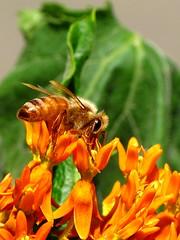 Honey Bee on Orange Milkweed (thatSandygirl) Tags: ohio summer orange flower macro green nature field animal june insect flora colorful warm bright blossom bokeh bee bloom milkweed honeybee depth mountvernon butterflyweed raynox dcr150 canonpowershotsx10is