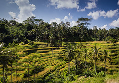 Bali Rice Fields (Meadows Travel) Tags: bali d600 nikkor24120mm4g