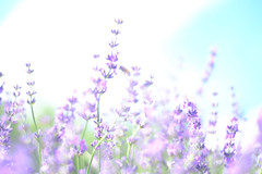Lavender and a bee (Hideo N) Tags: lavender bee nature