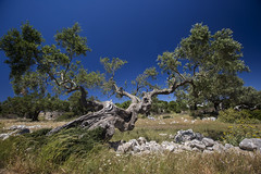 old olive tree (bartharmsenfotografie) Tags: tree nature olive natuur greece zante zakynthos griekenland 2016 bluecaves