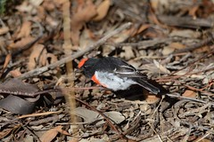 Red-capped Robin with insect (Petroica goodenovii) (Keefy2014) Tags: robin dryandra petroica redcapped goodenovii