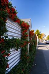 Berry Fence (Jocey K) Tags: street autumn trees newzealand christchurch sky cars fence buildings iron berries may salisburystreet