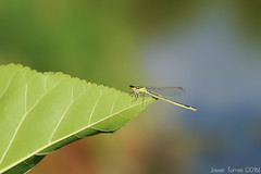 One-leaf-kingdom (The Whisperer of the Shadows) Tags: damselfly bug insect caballitodeldiablo bicho insecto amarillo verde yellow green wings alas leaf hoja macro 100mm color detail detalle geotagged
