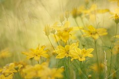 mello yellow (s@ssyl@ssy) Tags: yellow flowers morning light sun sunny shed mygarden multipleexposure grass grasses