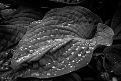 Diamonds in the rough (Phil_Moore) Tags: light plant reflection green nature wet water monochrome beautiful beauty leaves rain garden droplets leaf shine photograph dew wrinkles 500px ifttt