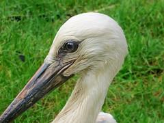 IMG_9978 stork PA368 Icaro (pinktigger) Tags: stork cigüeña storch cicogne ooievaar ciconiaciconia cicogna cegonha bird nature fagagna feagne friuli italy italia oasideiquadris animal outdoor