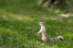 squirrel without nut (Sergey_Fotogray) Tags: nature beauty canon squirrel russia mark flash nut chelyabinsk mark3 135lens