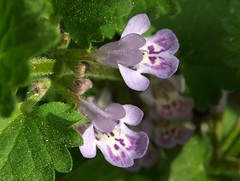 Ground Ivy or Gill-over-the-ground (rstickney37) Tags: gillovertheground groundivy glechoma