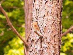 bluebird in our back yard (RangerRick) Tags: bird nature bluebird home