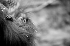 Mother & child (generalstussner) Tags: cute look snuggle monkey blackwhite eyes child bokeh young mother cuddle orangutan stare ef135mmf2lusm