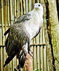 Philippines Eagle On Perch (Exciting Cebu -- Rusty Ferguson) Tags: eagle philippines cebu palawan crocodilefarm bogocity livingincebu cebuexperience