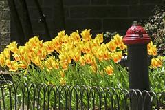 Central Park Fence Friday (San Francisco Gal) Tags: plant flower bulb hydrant fence spring blossom centralpark manhattan firehydrant tulip tulipa