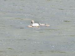 Swan (Eerika Schulz) Tags: moon island swan insel schwan causeway saar mohn saaremaa