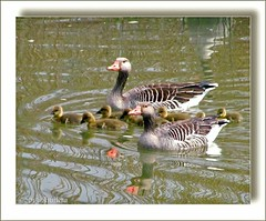 Family... ( Annieta  Off / On) Tags: family holland bird nature water netherlands canon river geese ngc familie nederland natuur goose gans ganzen powershot april oiseau allrightsreserved vogel rivier krimpenerwaard 2013 annieta usingthisphotowithoutpermissionisillegal sx30is