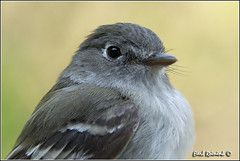 Willow Flycatcher (130515-0218) (Earl Reinink) Tags: portrait ontario canada art nature point photography nikon flickr photographer image images earl flikr warbler park provincial flycatcher d4 portrait art willowflycatcher bird nikon point rock photography images nature lens ontario canada ontbirds fine earl photographer lenses reinink reinink d4 niagara