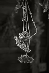 Dried Herbs (frntprchprss) Tags: blackandwhite herbs massachusetts stockbridge berkshires hanging dried berkshirebotanicalgarden fixedshadows jamesgehrt