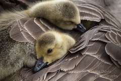 Fluffy feather bed (so comfy!) (Sadloafer (Hans)) Tags: bird animal horizontal outdoors photography day wildlife nopeople goose goslings gosling poking animalsinthewild partof beautyinnature animalhead animalthemes colourimage focusonforeground animalbody animalbodypart sadloafer hansdavisphotography onlythreeanimals