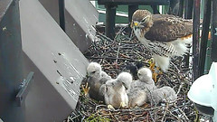 EZ brings starling (Cornell Lab of Ornithology) Tags: bird university cams ezra cornell redtailedhawk nestlings labofornithology cornelllabofornithology