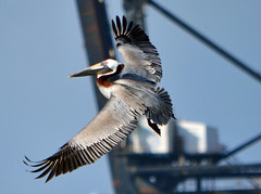 Pelican at the harbor (ctberney) Tags: marina florida miamibeach brownpelican pelecanusoccidentalis