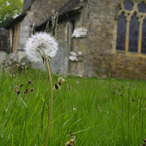 Church Dandelion
